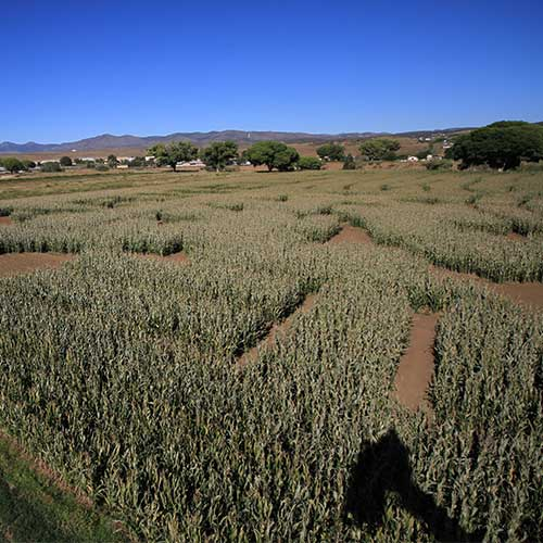 Explore our huge corn maze in Dewey, Arizona!