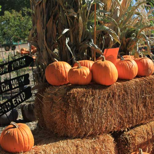 Pick-your-own pumpkins from our pumpkin patch this fall in Dewey outside of Phoenix, Arizona!