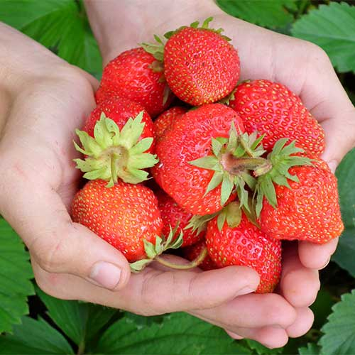 Pick-your-own strawberries from our U-Pick Strawberry Patch in Dewey!