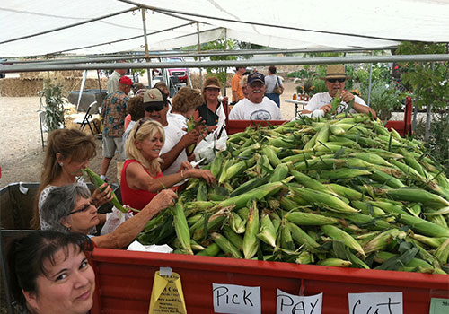 Farm fresh sweet corn now available in our country store at Mortimer Family Farms!